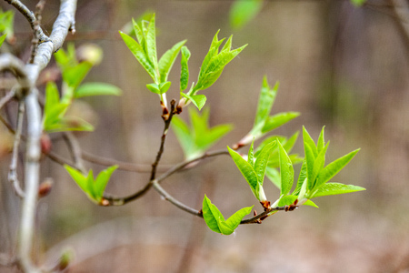first fresh green leaves on trees in spring. foliage 版權商用圖片