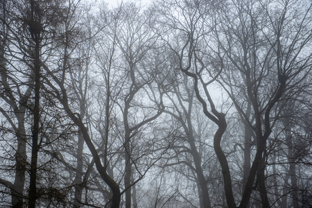 naked tree trunks in misty day in park with some snow leftovers on the ground