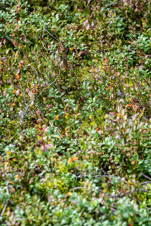red lingonberry cranberries growing in moss in forest. autumn, blur background