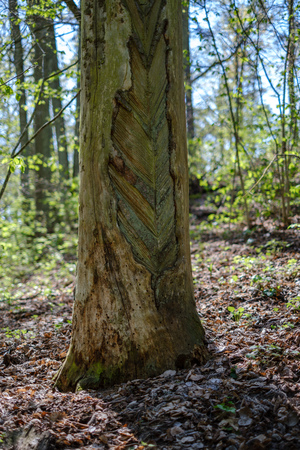 pine tree trunks in forest with old markings under the bark. green spring Stock Photo