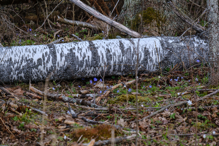 old dry tree trunks and stomps in green spring forest with dry leaves and bushes