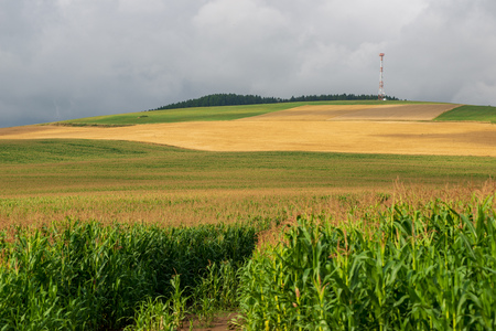 endless fields of corn under foggy sky with rain clouds. slovakia in summer 版權商用圖片