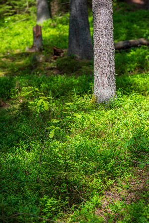 green moss on forestbed in mixed tree forest with tree trunks and green grass in summer. light from sun under the woods Reklamní fotografie
