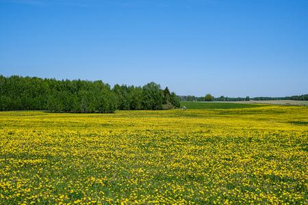 flores de diente de león amarillo en prado verde en verano. día soleado en el campo, profundidad de campo, desenfoque de fondo Foto de archivo