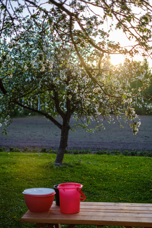 blooming apple tree in country garden in summer sunny day, white flower blossoms Stockfoto