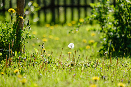 yellow dandelion flowers in green meadow in summer. sunny day at countryside, shallow depth of field, blur background