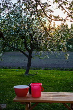 blooming apple tree in country garden at sunset in green summer evening