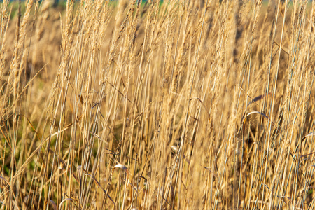 dry grass bents on blur background texture in nature Imagens