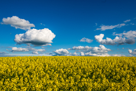 rapeseed bloominf yellow fields in spring under blue sky in sunshine. white clouds