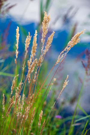 dry grass bents on blur background texture in nature 写真素材