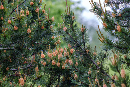 young pine tree branches with fresh violet cones in green summer rain