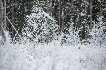 frost snowy forest trees in sunny day in winter countryside