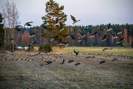 flock of birds feeding on the ground in spring time in countryside