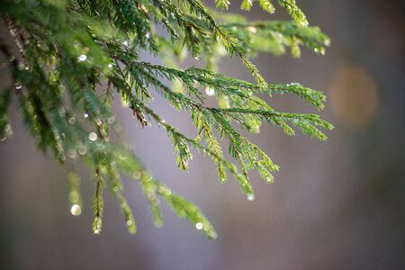 green wet spruce tree branches in nature with blur background texture