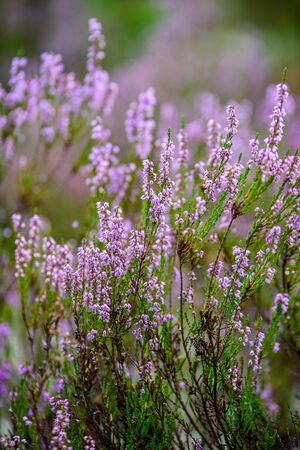 blooming heather in green forest moss in autumn with blur background Banque d'images