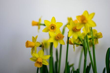 yellow daffodils on white blur background flower texture Stock Photo