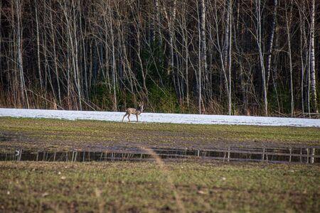 wild deer in empty spring field with no food Reklamní fotografie