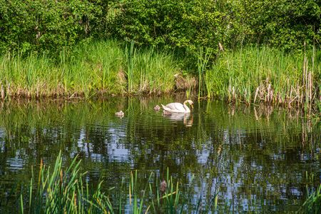 wild ducks and swans swimming in the lake water in summer Stock Photo