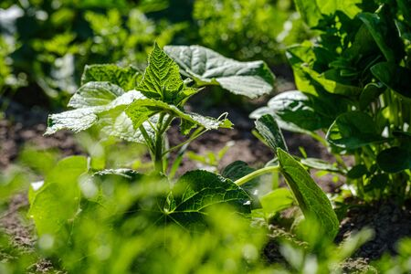 eco gardening, country garden with vegetables, onion, potatos and carrot growing in ecological environment, no pesticides Stock Photo