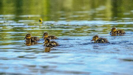 mother duck with small ducklings swimming in river lake water between water lilies in summer
