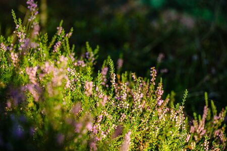 blooming heather in the summer forest on green blur background. decorative abstract with flowers