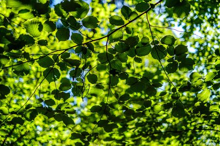 green fresh foliage. tree leaf in summer day in sunlight. abstract pattern blur background. nature details