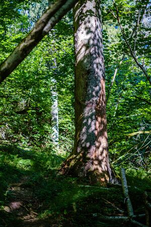 old dry broken tree trunks and stomps in forest  summer sunny day