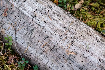 old dry tree trunk log in forest with insect biting marks