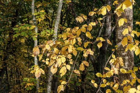 autumn colored yellow tree leaves in the forest park. recreation in nature