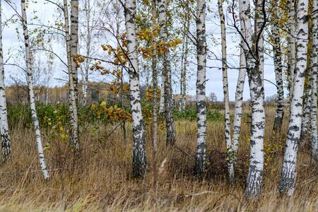naked birch aspen  trees in autumn forest woth some orange leaves left. cloudy day landscape