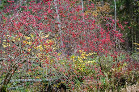 red berries in naked autumn tree branches. wet fall
