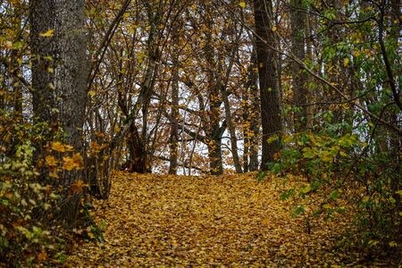 naked trees in autumn forest woth some orange leaves left. cloudy day landscape 版權商用圖片