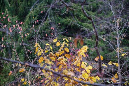 orange autumnal tree leaves on the branches in bushes. textured pattern in nature 版權商用圖片
