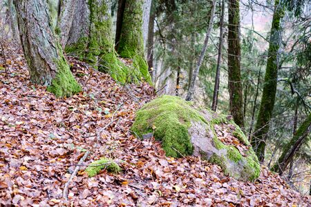 autumn colored tree leaves on large rock in forest. stone textue