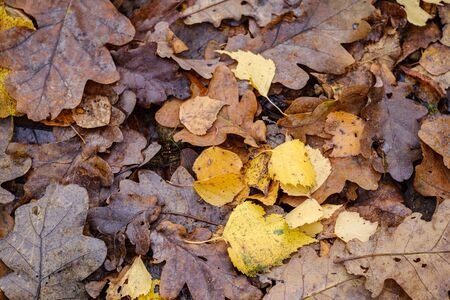 dark brown autumnal tree leaves on the ground. textured pattern in nature