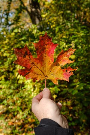 red mapple leaf on green background. male hand holding leaves
