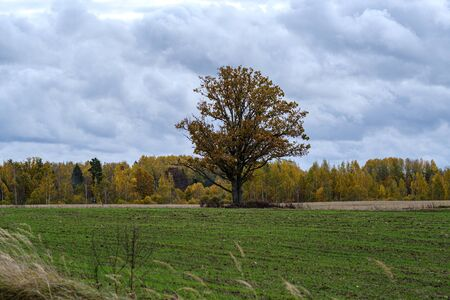 single large tree with no leaves isolated in green countryside meadow in cloudy autumn dusk down