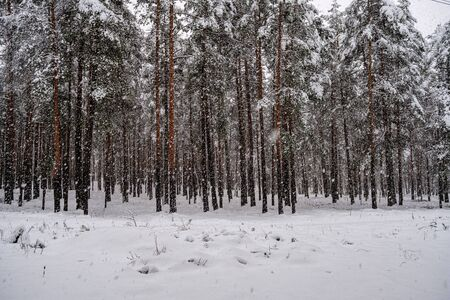 forest in snowy day in winter trees covered in snow. dark sky day Stock fotó