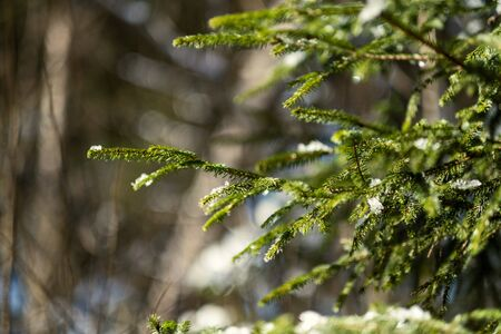 spruce tree leaves and pins in sunny winter covered with some snow and ice on blur background texture 版權商用圖片