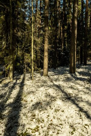 shadows under the trees in winter forest with low snow and green moss under 版權商用圖片