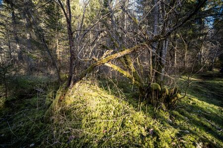 spring forest with green moss and sunshine rays and old trees 版權商用圖片
