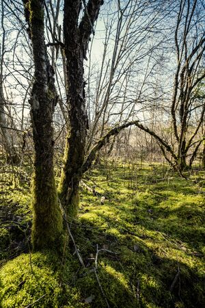 spring forest with green moss and sunshine rays and old trees 版權商用圖片 - 144141468