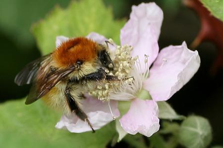 bombus: Brown-Banded Carder Bumblebee, Bombus humilis Stock Photo