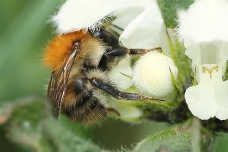 bombus: Common Carder Bumblebee, Bombus pascuorum