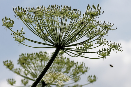 invasive plant: Head of Giant Hogweed