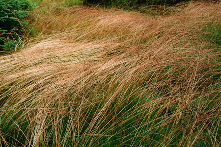 Green and dried grass on the field. Dehydrated grass land. Grass abstract background