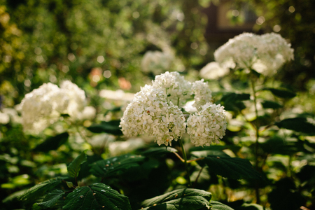 Annabelle Cluster Hydrangea treelike. Flowering shrub. Is the most famous variety. 스톡 콘텐츠 - 121204328