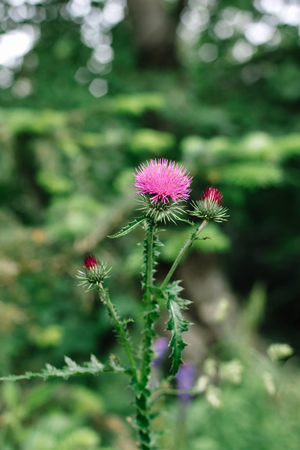 Pink thistle flowers in the wild Silybum marianum herbal medicine against the background of green grass