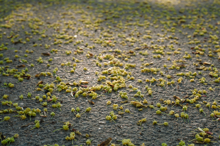 Fallen withered linden flowers on the ground in spring. View from above. Asphalt texture background Imagens