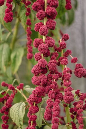 Amaranth caudatus flowers of kivich. Source of Vitamin A, Vitamin C, Calcium, Manganese and Folate. ornamental plant. Leaves and seeds are eaten. Stock fotó